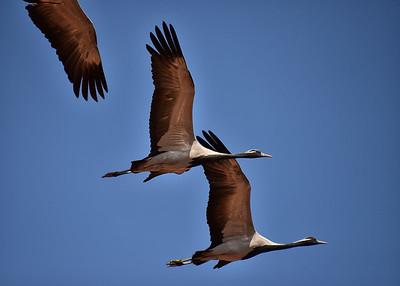 IND_1196-7x5-Cranes