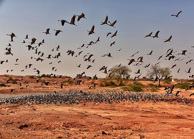 IND_1220-7x5-Cranes in Flight