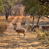 IND_4385-7x5-Lots of deer