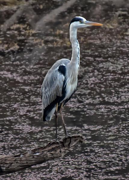 IND_4096-5x7-Heron