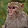 IND_3844-7x5-Monkey