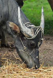 MYA_3931-Water Buffalo