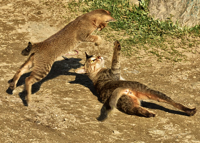 NEP_2961-7x5-Cats at Play