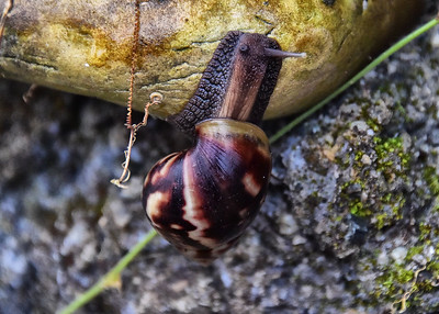 NEP_1601-7x5-Snail