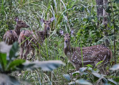 NET_0070-7x5-Spotted Deer