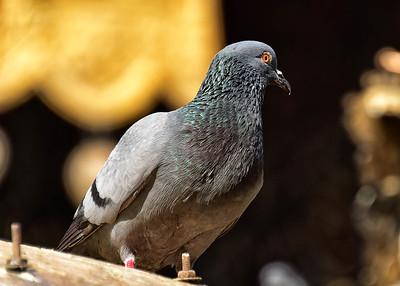 NEP_0742-7x5-Pidgeon