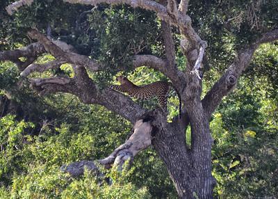 SRI_0354-7x5-Leopard