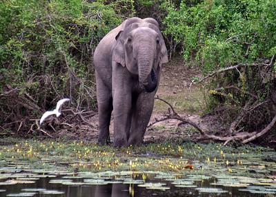 SRI_0032-7x5-Elephant