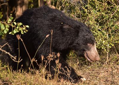 SRI_0272-7x5-Sloth Bear