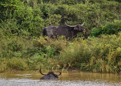 SRI_0147-7x5-Wild-Water Buffalo