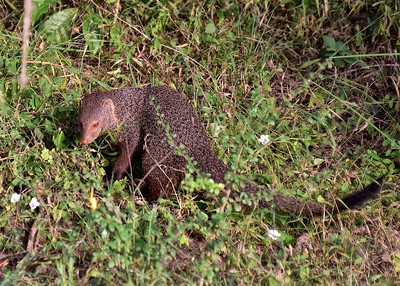 SRI_0120-7x5-Mongoose