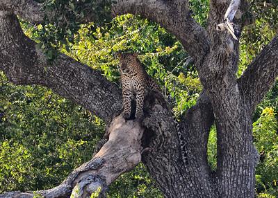 SRY_0014-7x5-Leopard