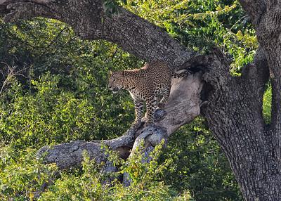 SRY_0030-7x5-Leopard