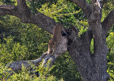 SRY_0028-7x5-Leopard