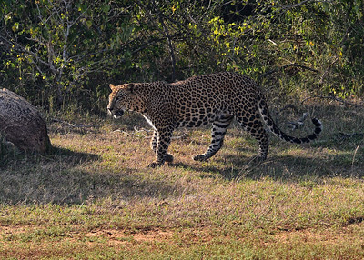 SRY_0046-7x5-Leopard