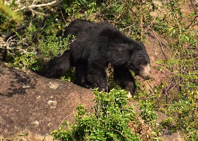 SRI_0325-7x5-Sloth Bear