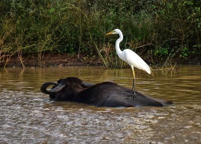 SRI_0141-7x5-Water Buffalo-Stork-v2
