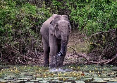 SRI_0021-7x5-Elephant