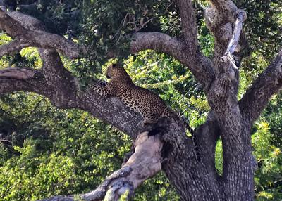 SRI_0360-7x5-Leopard