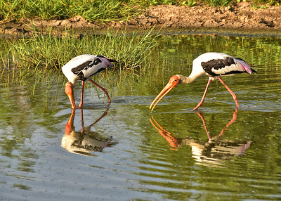 SRI_0261-7x5-Painted Storks