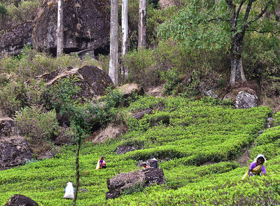 SRI_1432-Tea pickers-Trees