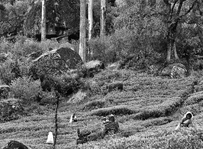 SRI_1432-Tea pickers-Trees-BW