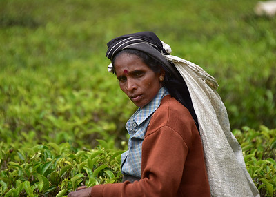 SRI_1428-7x5-Picking Tea