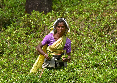 SRI_1427-7x5-Picking Tea