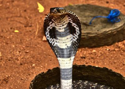 NEA_1228-7x5-Cobra Snake