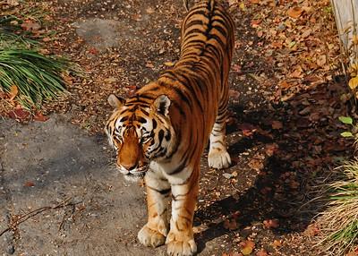 NEA_3732-7x5-Tiger
