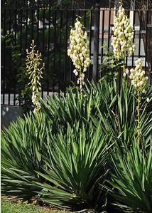 NEA_0894-5x7-Yucca