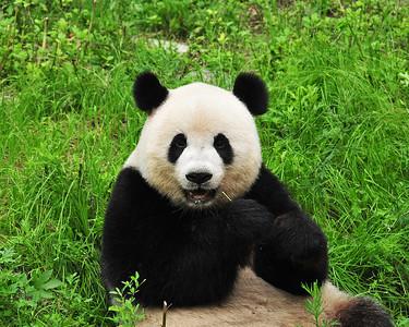 CHI_2282-10x8-Panda