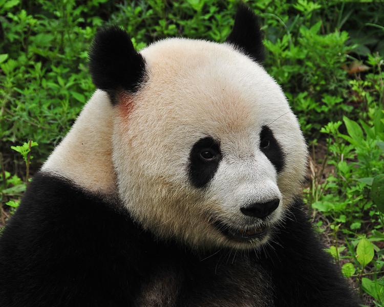 CHI_2318-10x8-Panda