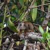 ECQ_0679-Spider Monkey