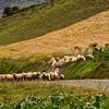ECQ_0030-Hearding Sheep