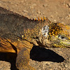 ECQ_5278-Iguana
