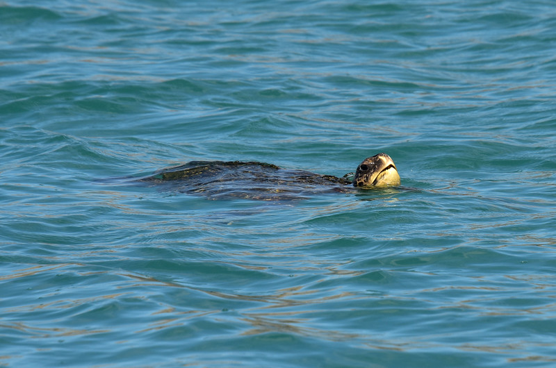 ECQ_4229-Sea Turtle