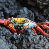 ECQ_2921-Crab