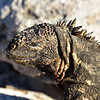 ECQ_5097-Marine Iguana