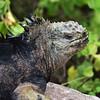 ECQ_4608-Iguana