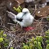 ECQ_3281-Red Footed Booby Chick