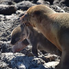 ECQ_5330-New Baby Sea Lion