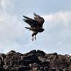 ECQ_3856-Hawk