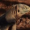 ECQ_5435-Iguana moulting