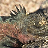 ECQ_3636-Marine Iguana