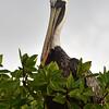 ECQ_4940-Pelican