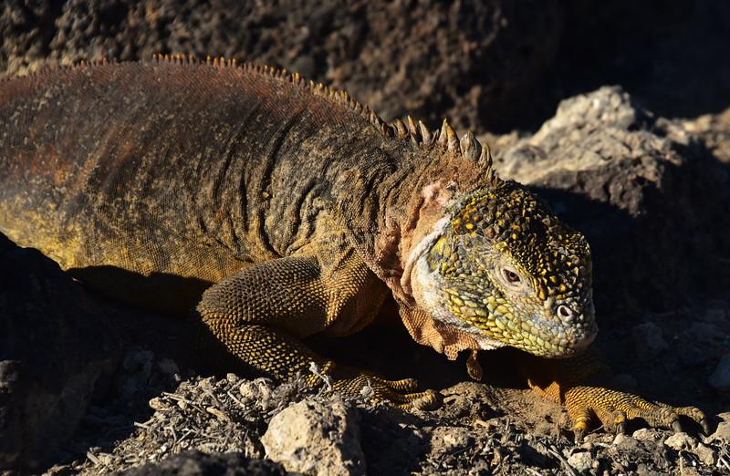 ECQ_5133-Land Iguana