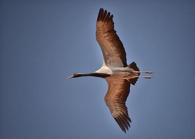 IND_1246-7x5-Crane in Flight