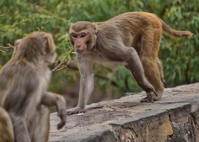 IND_3837-7x5-Monkey