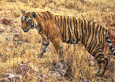 IND_4210-7x5-Tiger